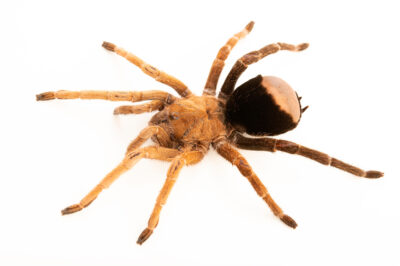 Photo: A tarantula (Reversopelma petersi) from a private collection.