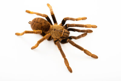 Photo: A Tanzanian baboon tarantula (Encyocratella olivacea) from a private collection.