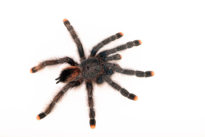 Photo: A female pink toed tarantula (Avicularia avicularia) from a private collection.