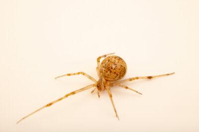 Photo: A common house spider (Parasteatoda tepidariorum) at the Audubon Insectarium, part of the Audubon Nature Institute.