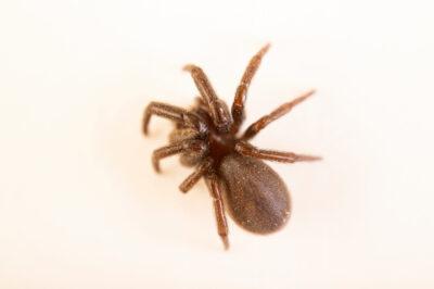Photo: A Plectreurid spider (Plectreurys sp.) at the Audubon Insectarium, part of the Audubon Nature Institute.
