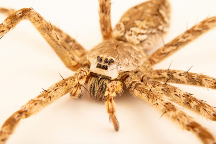 Photo: A white-banded fishing spider (Dolomedes albineus) at the Audubon Insectarium, part of the Audubon Nature Institute.