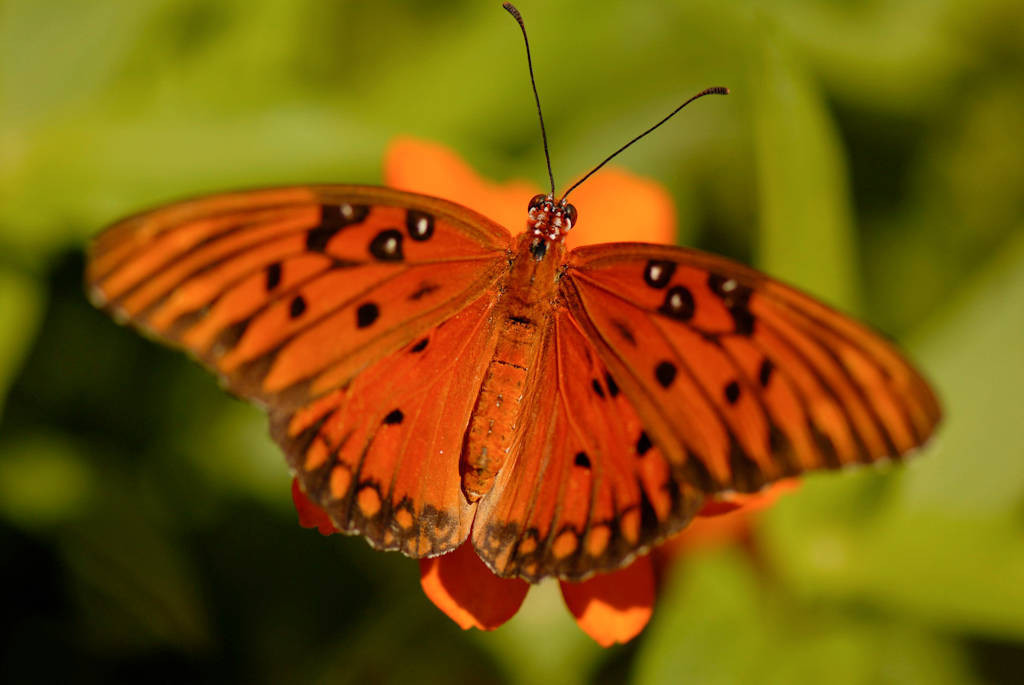 Photo: A gulf fritillary butterfly at the Butterfly Pavilion at the Lincoln Children's Zoo.