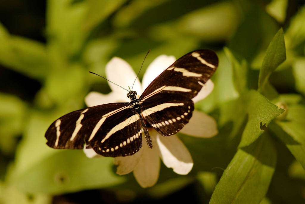 Photo: A zebra wing butterfly at the Butterfly Pavilion at the Lincoln Children's Zoo.