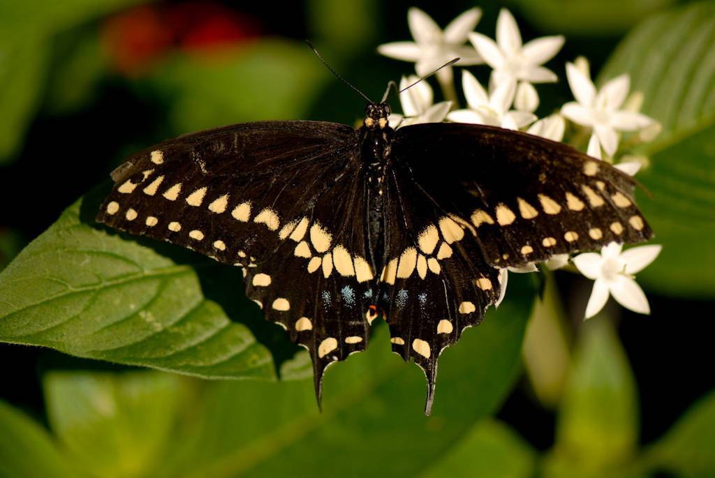 Photo: A swallowtail butterfly at the Butterfly Pavilion at the Lincoln Children's Zoo.