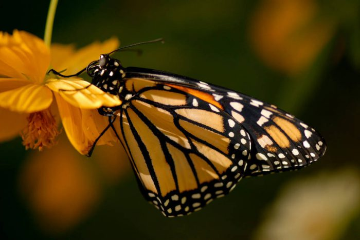 Photo: A monarch butterfly at the Butterfly Pavilion at the Lincoln Children's Zoo.