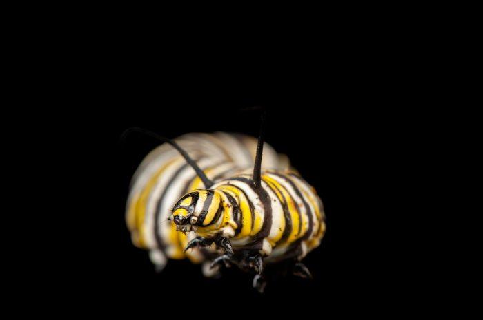 Photo: A monarch butterfly caterpillar (Danaeus plexippus) found at Spring Creek Prairie.