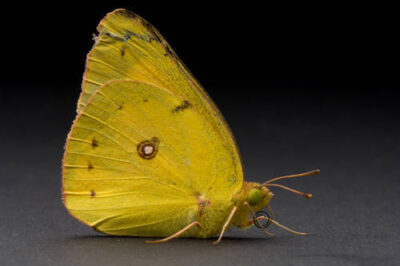 An alfalfa butterfly (Colias eurytheme) found at Spring Creek Prairie.