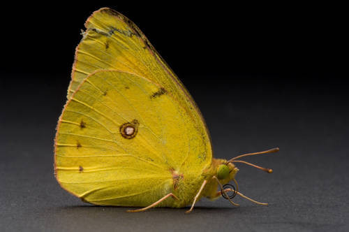 An alfalfa butterfly (Colias eurytheme) found at Spring Creek Prairie.