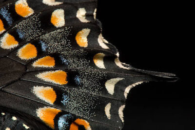 Picture of a black swallowtail butterfly (Papilio polyxenes)