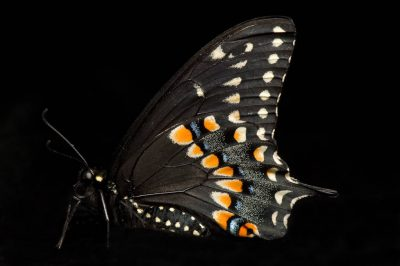 Picture of a black swallowtail butterfly (Papilio polyxenes).