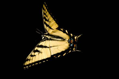 A male tiger swallowtail butterfly (Papilio glaucus).