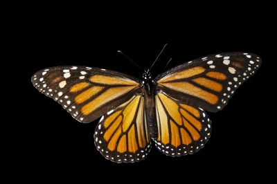Picture of a monarch butterfly (Danaus plexippus) from Sierra Chincua, Mexico.