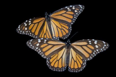 Monarch butterflies (Danaus plexippus) from Sierra Chincua, Mexico.