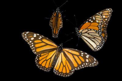 Monarch butterflies (Danaus plexippus) from Sierra Chincua, Mexico.
