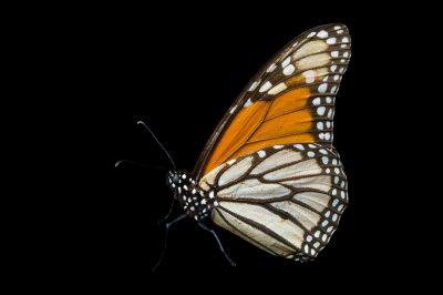 A monarch butterfly (Danaus plexippus) from Sierra Chincua, Mexico.