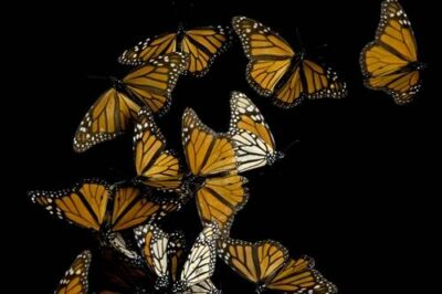 Picture of monarch butterflies (Danaus plexippus) from Sierra Chincua, Mexico.