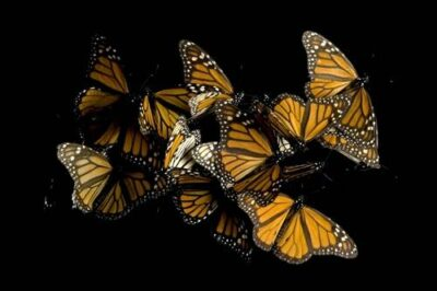 Picture of monarch butterflies (Danaus plexippus) from Sierra Chincua, Mexico.