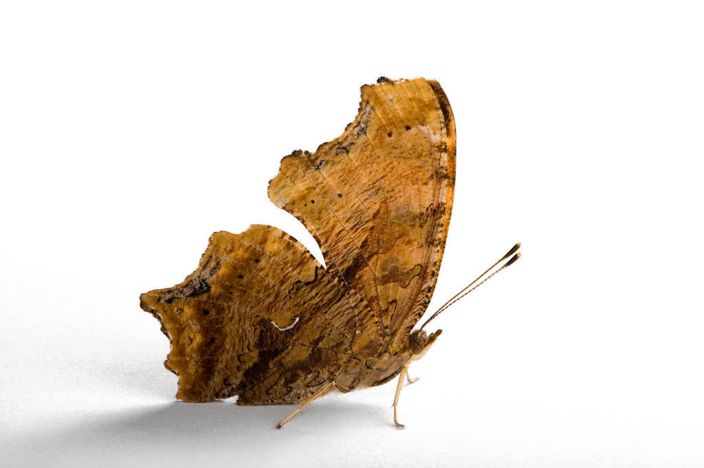 An eastern comma butterfly (Polygonia comma).