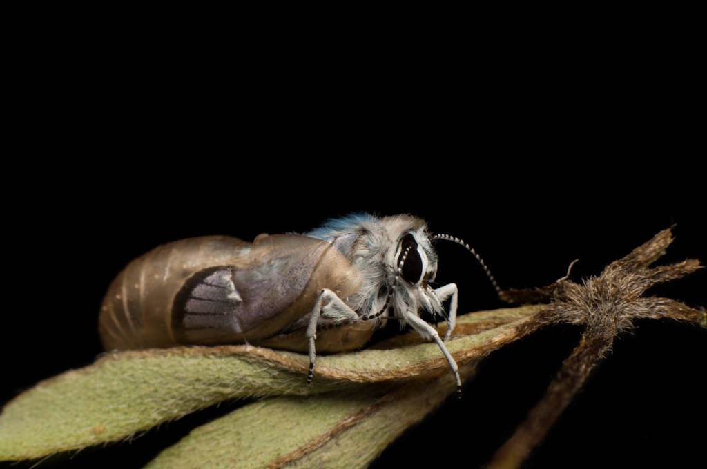 A federally endangered Karner blue butterfly, Lycaeides melissa samuelis, emerges from pupae.