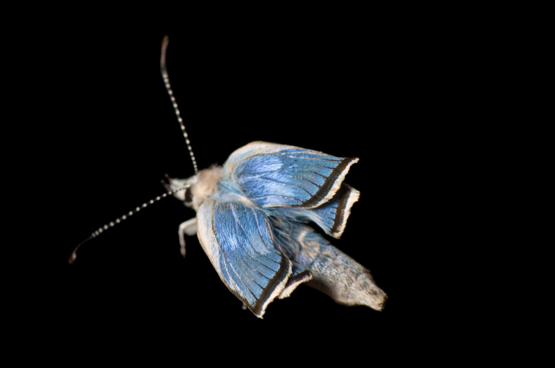 A federally endangered Karner blue butterfly, Lycaeides melissa samuelis.