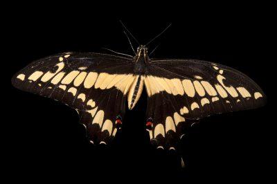 Photo: The king swallowtail or Thoas swallowtail (Papilio thoas) at the Omaha Zoo.