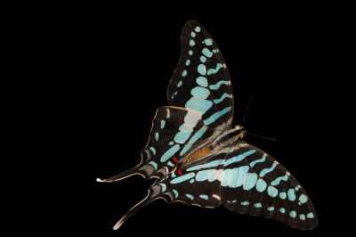 A larger striped swordtail butterfly (Graphium antheus) at the Audubon Insectarium in New Orleans.
