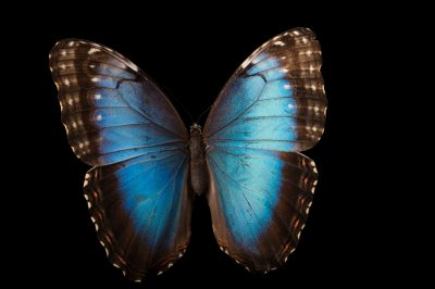 A Peleides blue morpho butterfly (Morpho peleides) at the Audubon Insectarium in New Orleans.