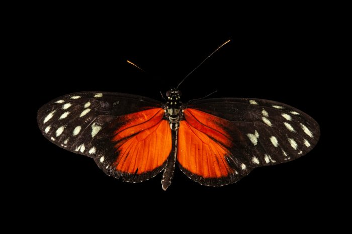 A Tiger longwing butterfly (Heliconius hecale) at the Audubon Insectarium in New Orleans.
