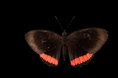 A red rim butterfly (Biblis hyperia) at the Audubon Insectarium in New Orleans.