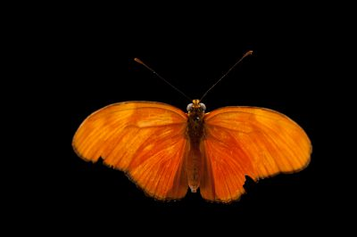 A Julia butterfly (Dryas iulia) at the Audubon Insectarium in New Orleans.