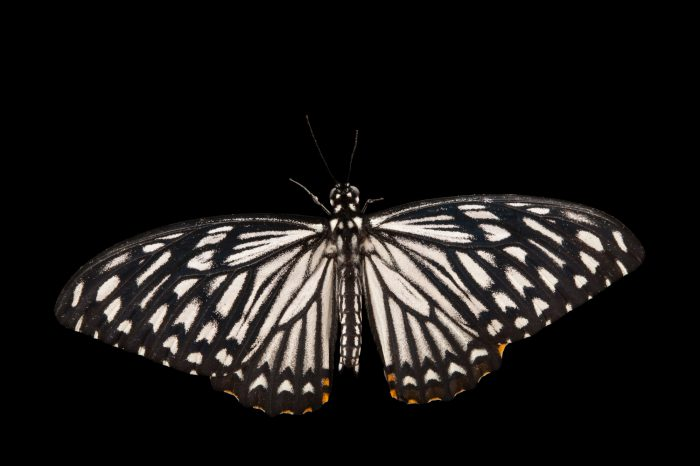 A common mime butterfly (Chilasa clytia) at the Audubon Insectarium in New Orleans.