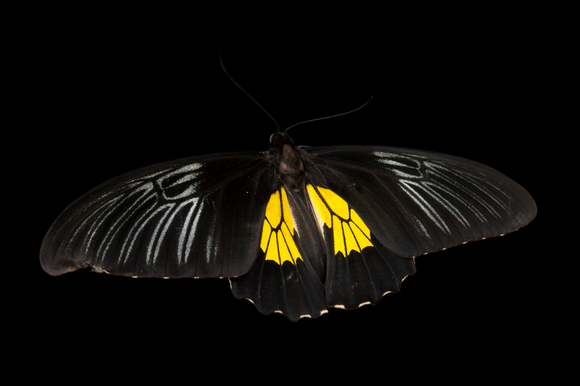 Common birdwing butterfly (Troides helena) at the Audubon Insectarium in New Orleans.