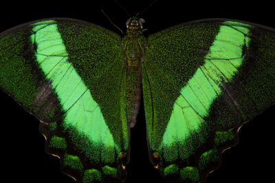 Picture of a emerald swallowtail (Papilio palinurus) at the Audubon Insectarium in New Orleans.