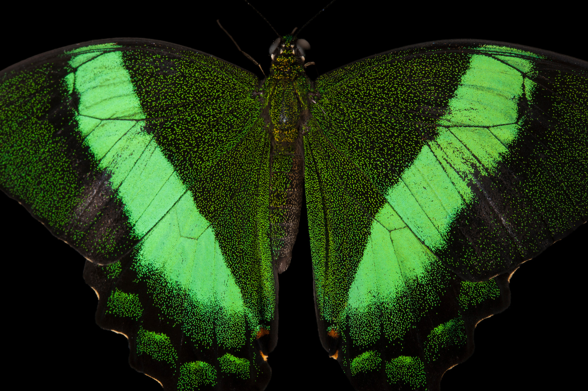 Photo: An emerald swallowtail (Papilio palinurus) at the Audubon Insectarium in New Orleans.
