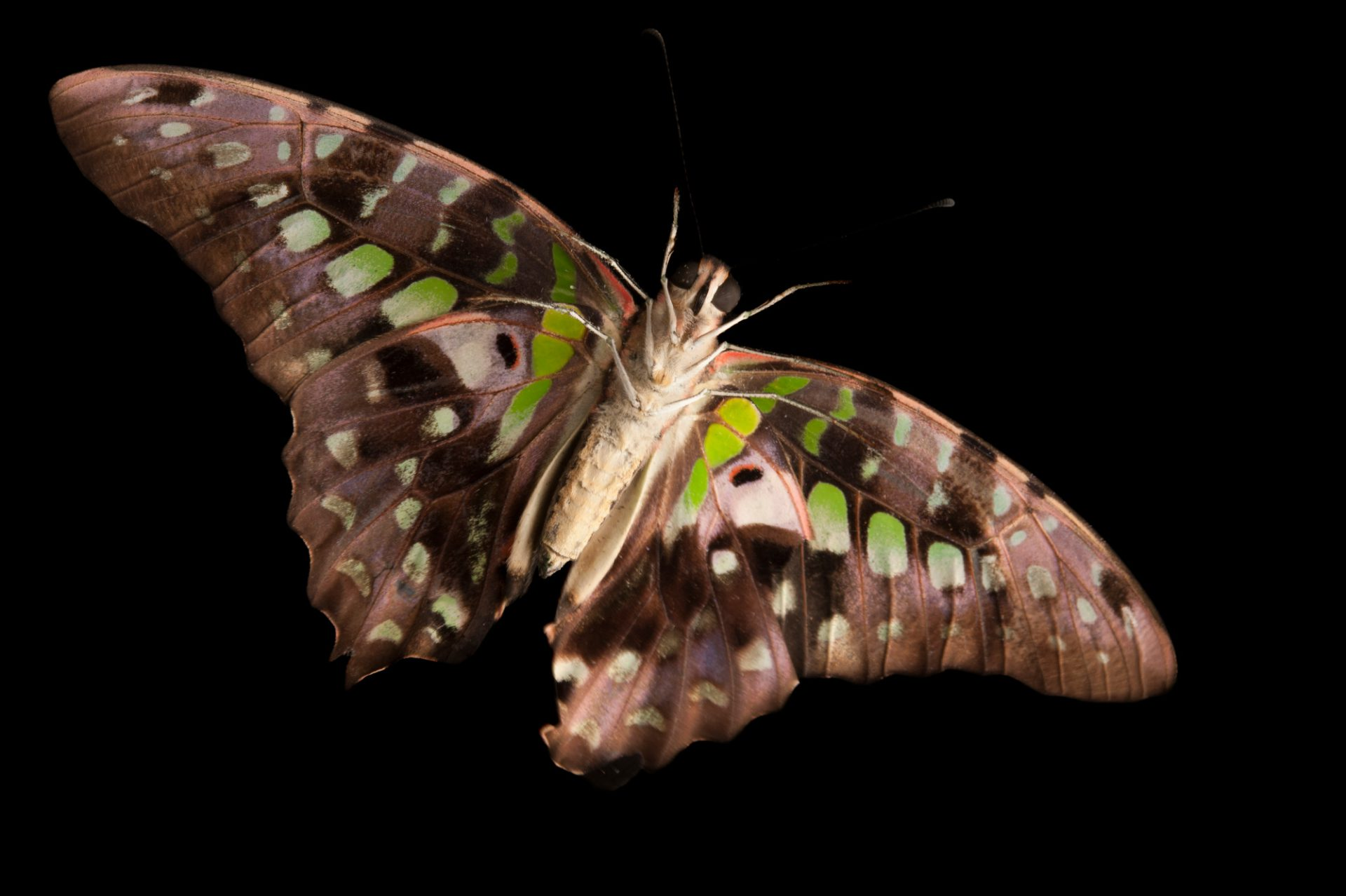 Photo: A tailed jay butterfly (Graphium agamemnon) at the Audubon Insectarium in New Orleans.