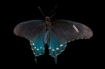 Pipevine swallowtail (Battus philenor) a native to Nebraska, at the Lincoln Children's Zoo.