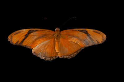 Julian heliconian butterfly (Dryas iulia) a native to Nebraska, at the Lincoln Children's Zoo.