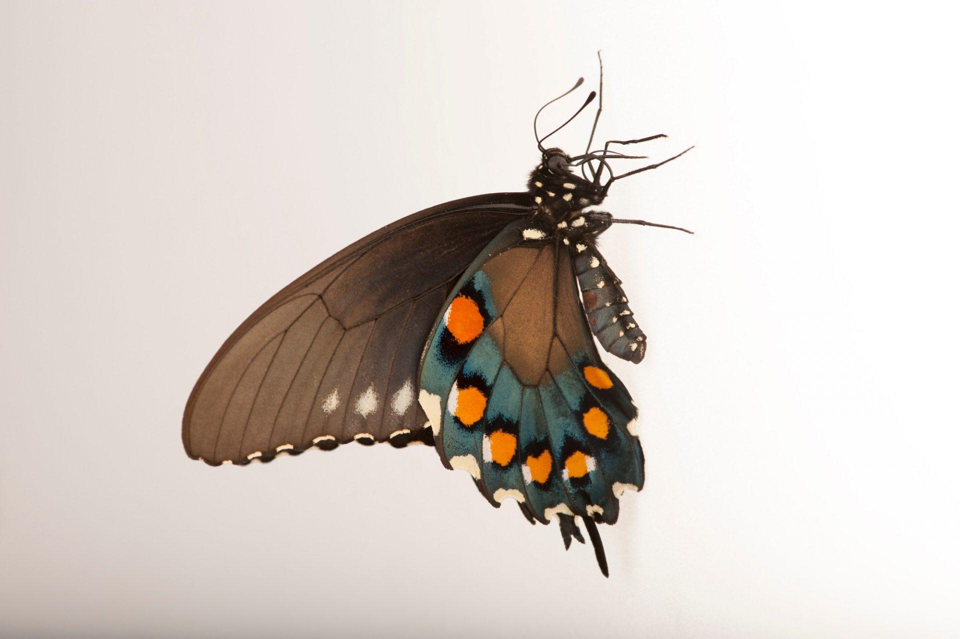 Pipevine swallowtail (Battus philenor) a native to Nebraska, at the Lincoln Children's Zoo.