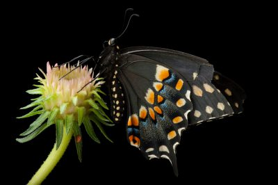 Picture of a black swallowtail butterfly (Papilio polyxenes) a native to Nebraska, at the Lincoln Children's Zoo.