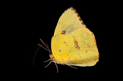 An orange sulphur butterfly (Colias eurytheme) at the Lincoln Children's Zoo.