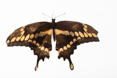 A giant swallowtail butterfly (Papilio cresphontes) a native to Nebraska, at the Lincoln Children's Zoo.