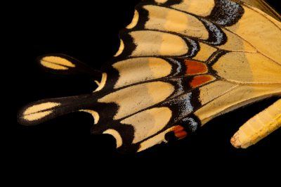 Giant swallowtail butterfly (Papilio cresphontes), a native to Nebraska, at the Lincoln Children's Zoo.