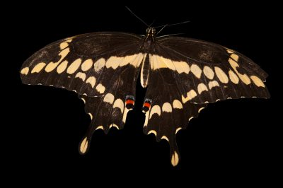 Giant swallowtail butterfly (Papilio cresphontes) a native to Nebraska, at the Lincoln Children's Zoo.