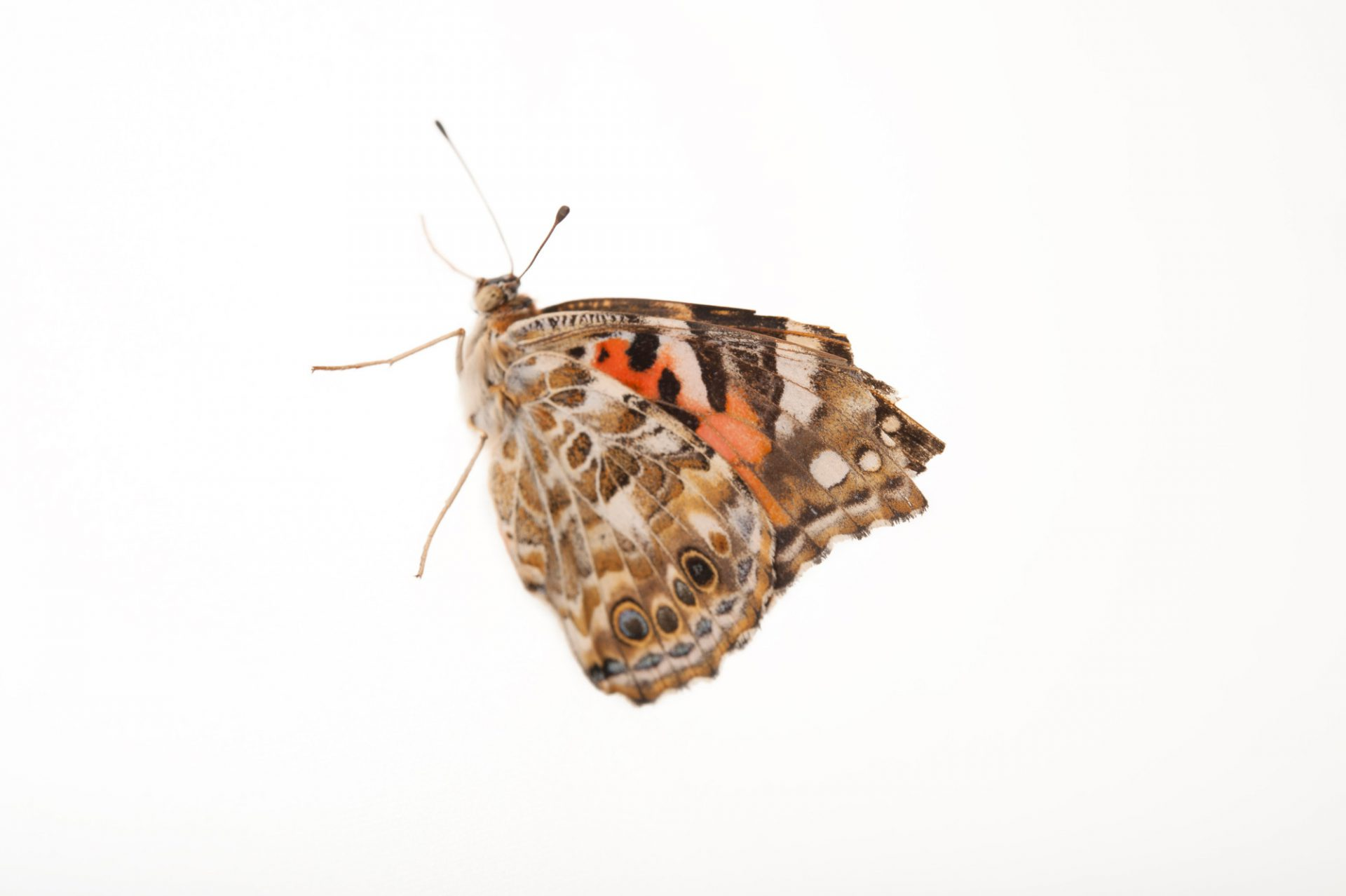 American painted lady (Vanessa cardui) a native to Nebraska, at the Lincoln Children's Zoo.