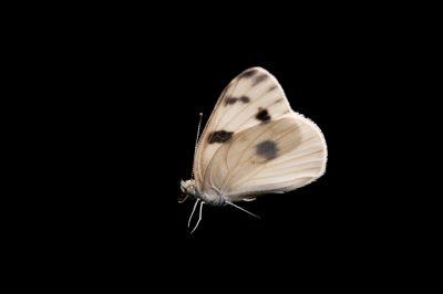 A male checkered white butterfly (Pontia protodice) from Dieken Prairie near Undadilla, Nebraska.