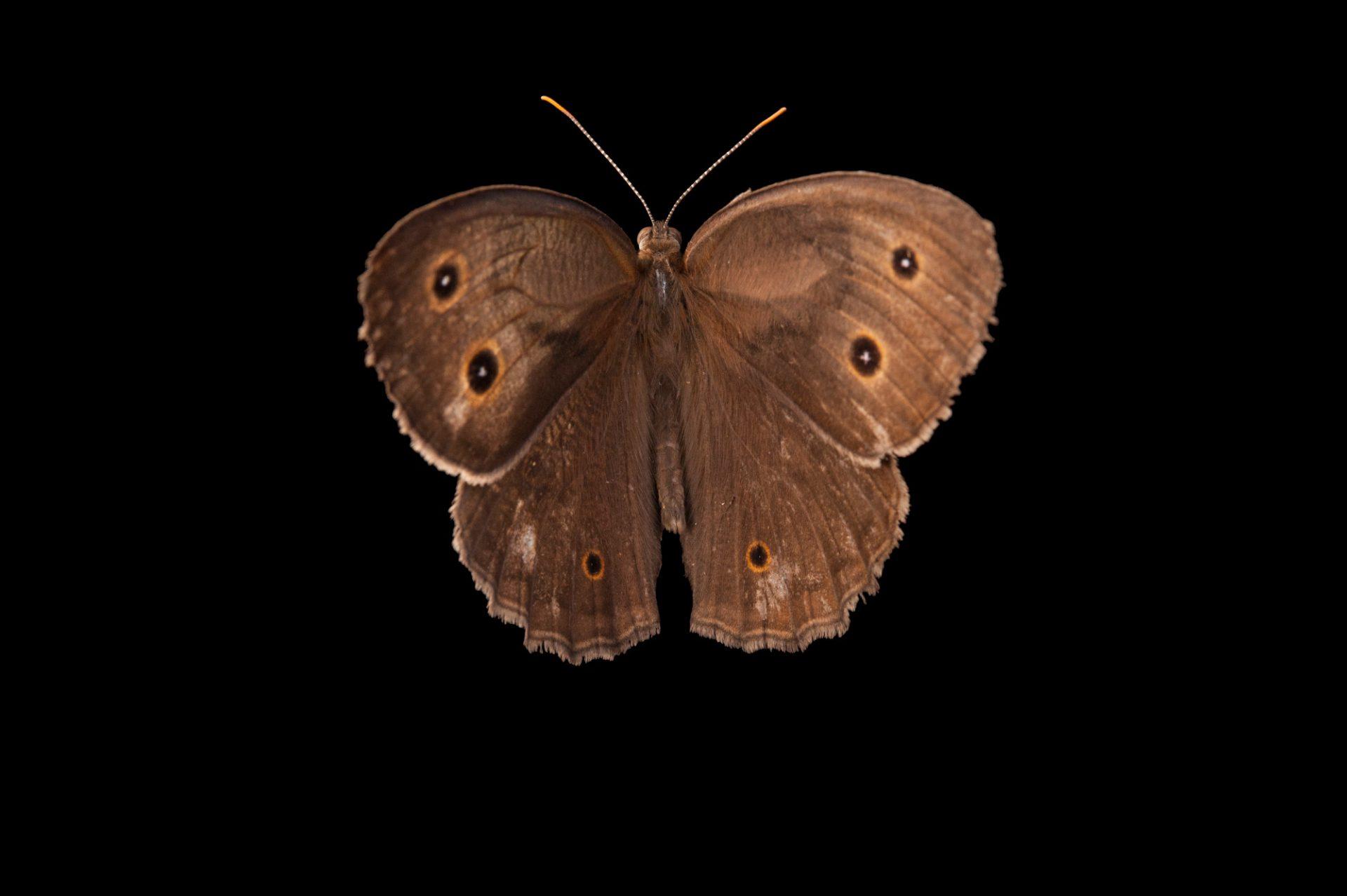 A common wood-nymph (Cercyonis pegala) from Dieken Prairie near Undadilla, Nebraska.