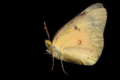 A female alfalfa butterfly (Colias eurytheme) from Dieken Prairie near Undadilla, Nebraska.