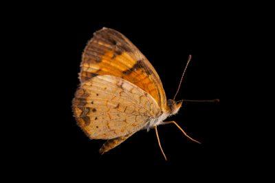 A female pearl crescent butterfly (Phyciodes tharos) from Dieken Prairie near Undadilla, Nebraska.