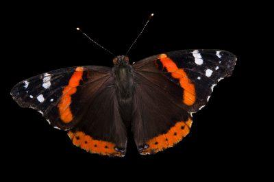 Red admiral butterfly (Vanessa atalanta) at Leech Lake, Minnesota.